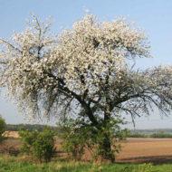 cerasus-pianta-vivai-simona-donnini-assisi-perugia