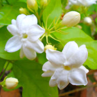 gelsomino-pianta-vivai-simona-donnini-assisi-perugia