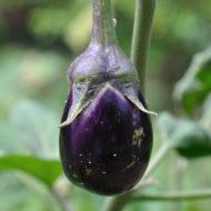 melanzane-pianta-vivai-simona-donnini-assisi-perugia
