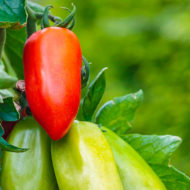 pomodori-san-marzano-liscio-pianta-vivai-simona-donnini-assisi-perugia