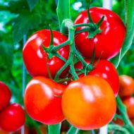 pomodori-tondi-lisci-pianta-vivai-simona-donnini-assisi-perugia