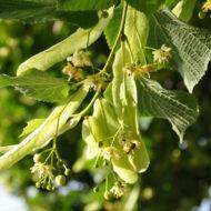 tilia-tiglio-pianta-vivai-simona-donnini-assisi-perugia