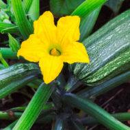 zucchine-pianta-vivai-simona-donnini-assisi-perugia